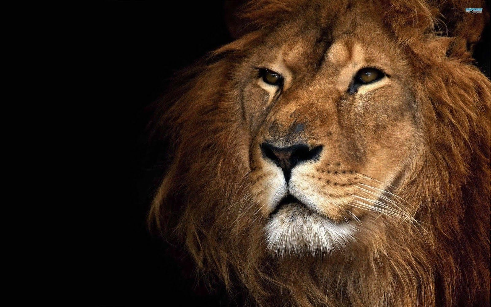1080p Hd Lion Wallpapers Free High Quality Desktop Iphone And