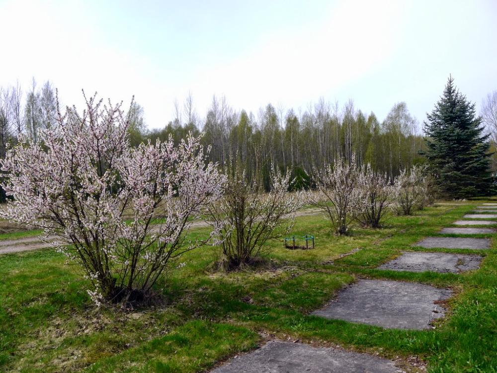 Войлочная вишня – посадка и уход, способы размножения ...
