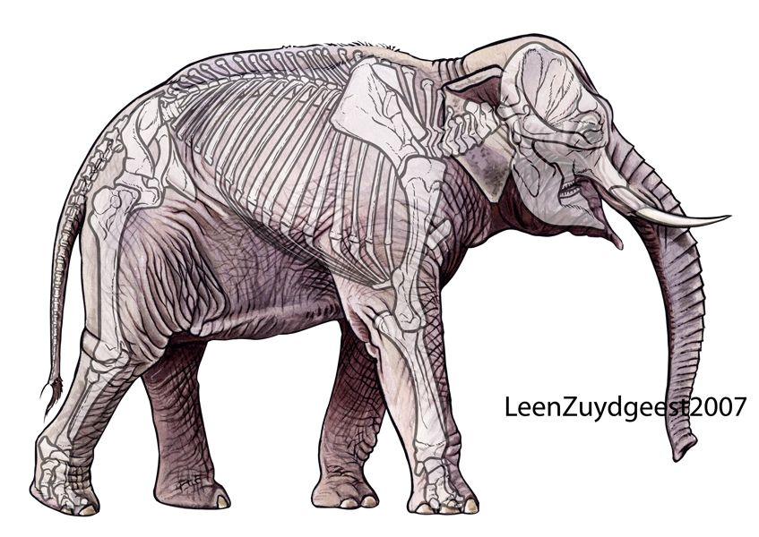 Asian elephant with skeleton. Watercolor (elephant), Indian ink ...