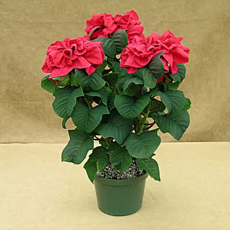 How To Grow Care For And Maintain A Winter Rose Poinsettia Houseplant411 Com Poinsettia Care Rose Plant Care Planting Roses