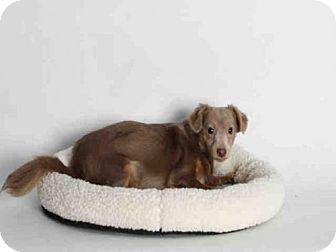 San Pedro, CA - Chihuahua. Meet BASIL, a dog for adoption. http://www.adoptapet.com/pet/12902781-san-pedro-california-chihuahua
