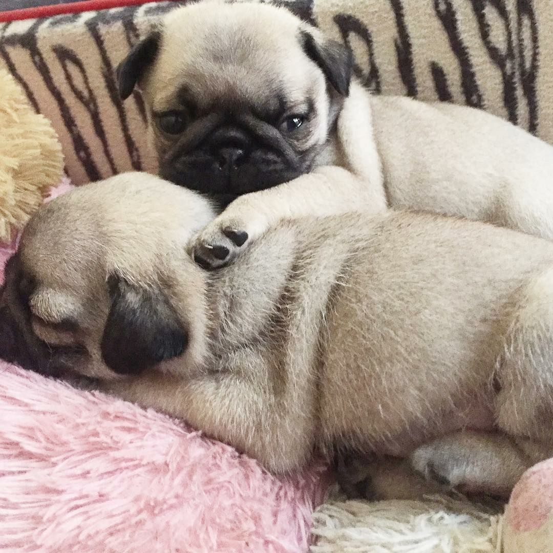 Thank You To Lucy Theboss Pug Too Cute Tag Us To Be Featured