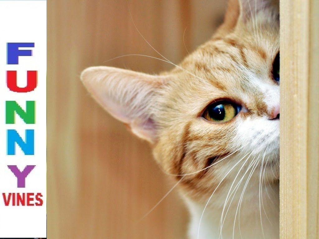 CuteCatsKittensVideo Funny Cats Videos Vines 2016 Cute Kittens