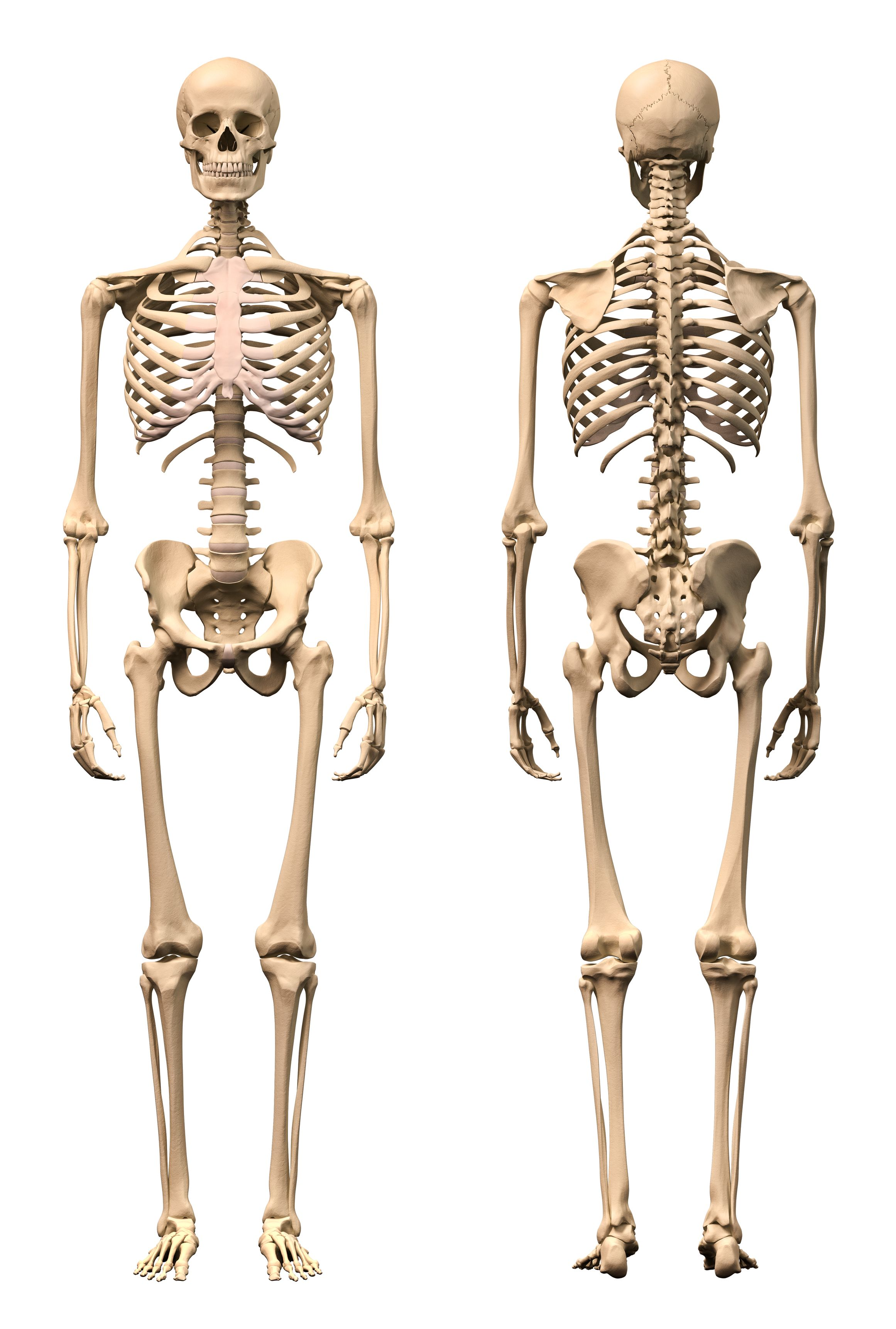 hight resolution of human skeleton diagram front and back