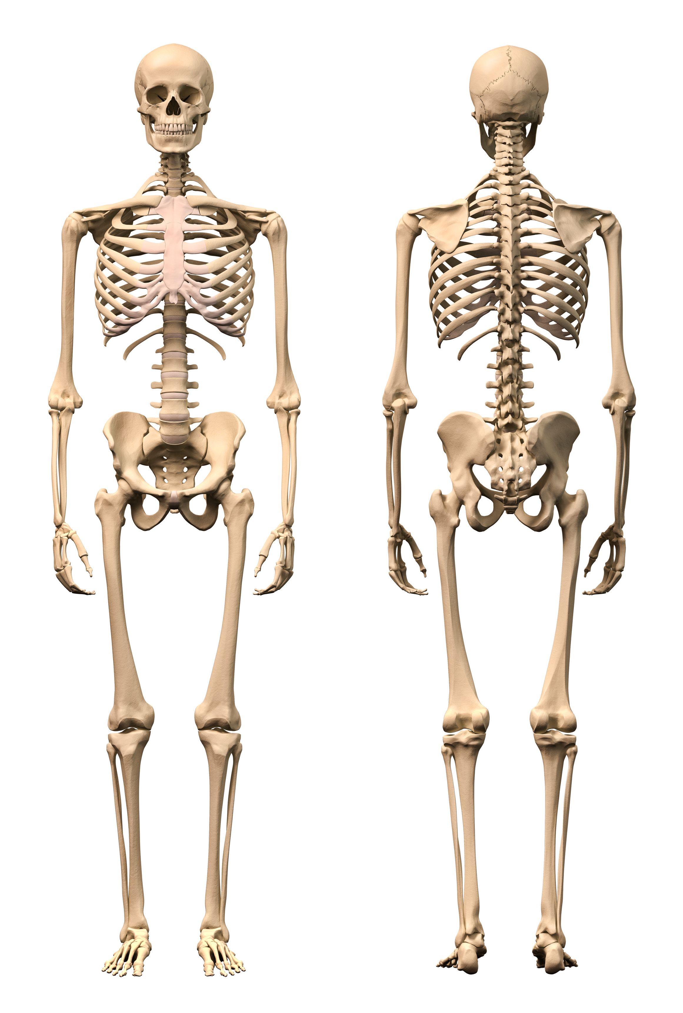 medium resolution of human skeleton diagram front and back