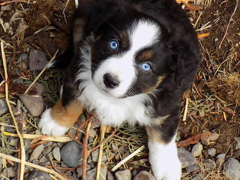 Litter Of 6 Australian Shepherd Puppies For Sale In Prineville Or Adn 27961 On Puppyfinder C Puppies For Sale Australian Shepherd Australian Shepherd Puppies
