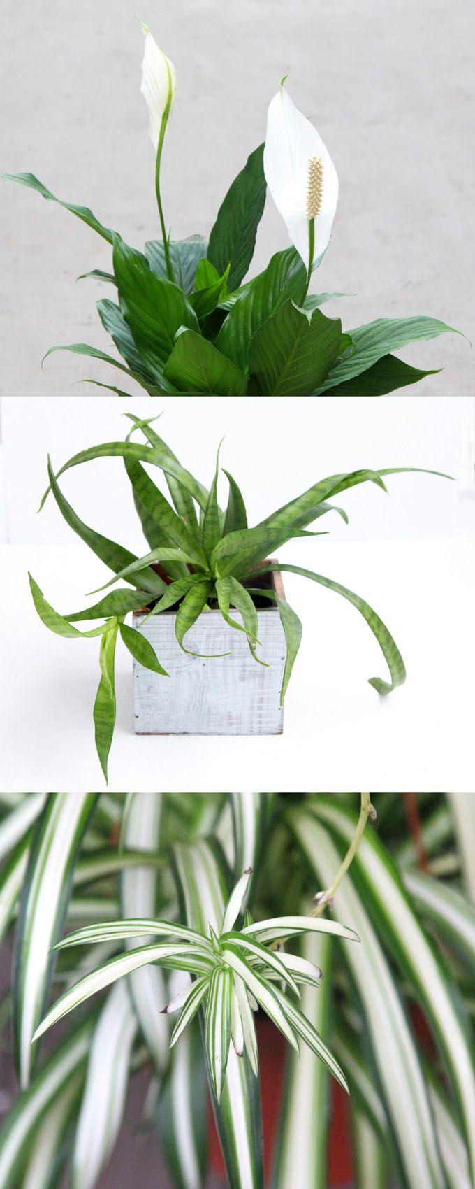 12 Easy Indoor Plants For Beauty Clean Air Planten 400 x 300
