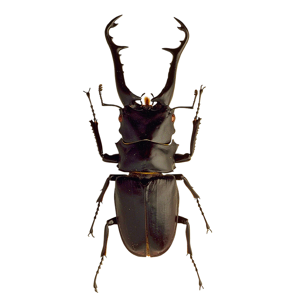 free download high quality insects beetle png image