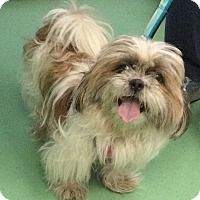 Shih Tzu Havanese Mix Dog For Adoption In New York New York