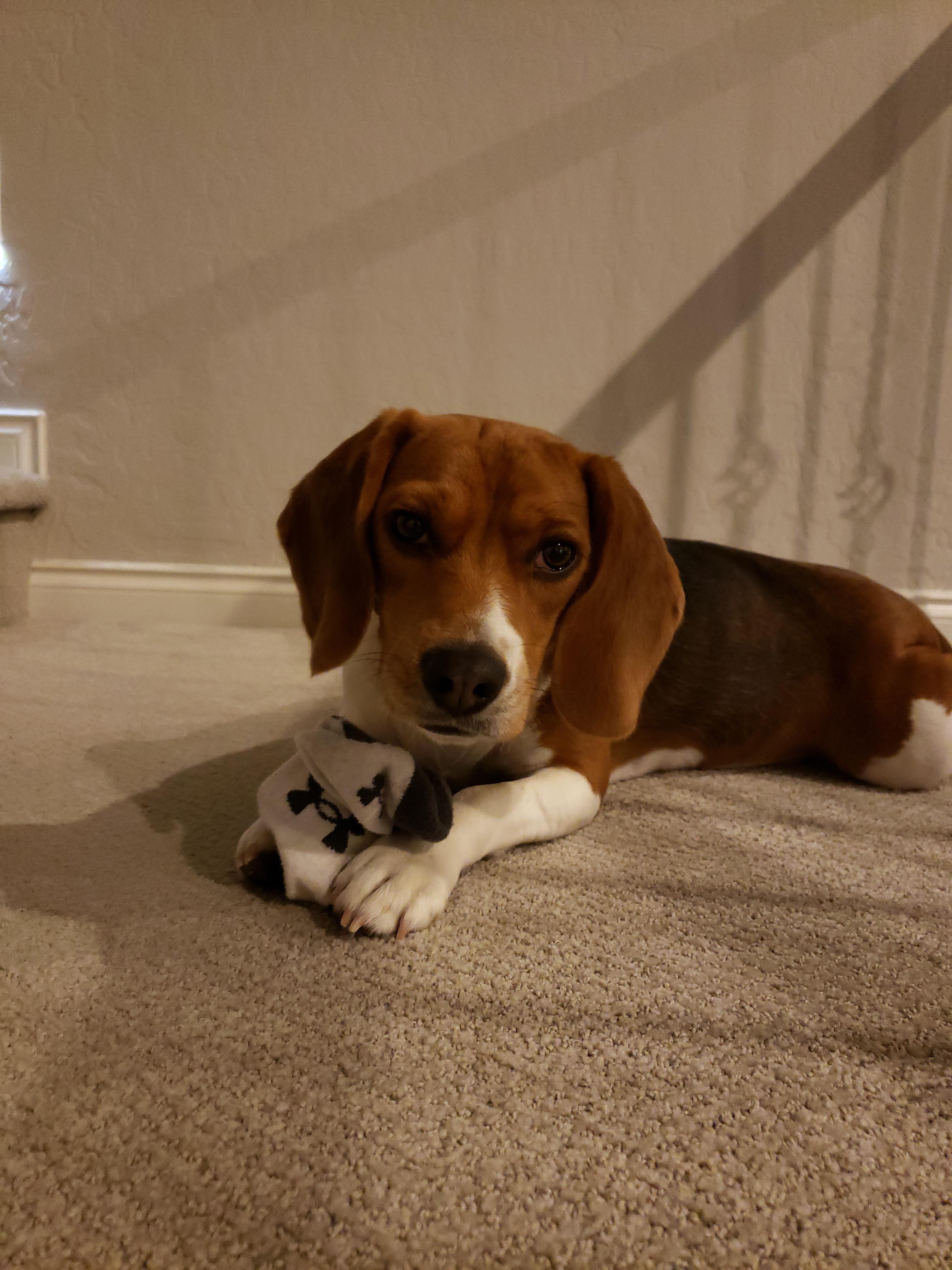 Why Beagles Make Great Pets Dogs Mini Beagle Beagle Beagle Puppy