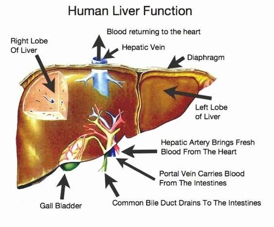 liver diagram and function - the amazing human body | liver love, Human Body
