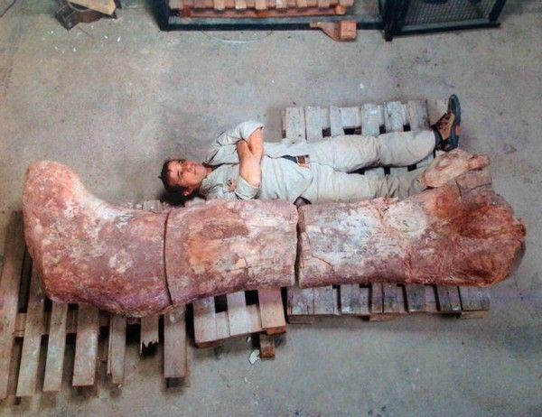 Descubren el fosil del animal mas grande del mundo-titanosaurio