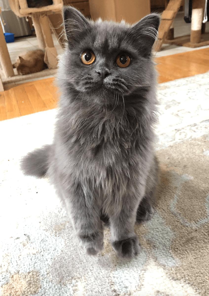 Scottish Fold Cats For Sale Bayville Nj