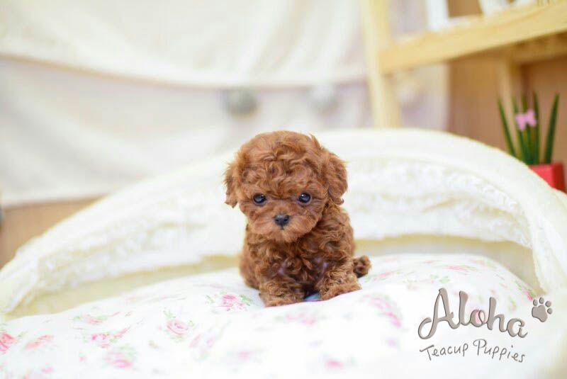 Good Morning Babe Https Www Alohateacuppuppies Com Redpoodle Poodle Teacuppoodle Korea Losangele Teacup Puppies Teacup Puppies For Sale Puppies