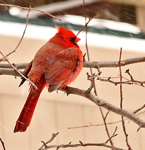 Cardinal Back To The Storm Cardinals Don T Migrate And Their Plumage Doesn T Dull Or Brown Out In Winter So They Remain A Brig Storm Cardinal Winter Day
