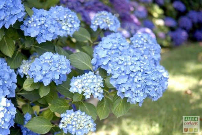 L entretien et la couleur bleue des hortensias hortensia bleu les hortensias et hortensia - Entretien et coupe des hortensias ...