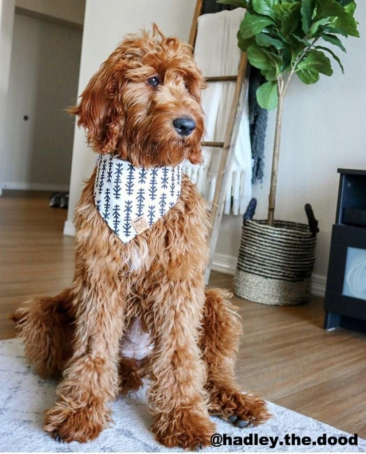 Tahoe Royal Collections And Co. F1b goldendoodle, Dog