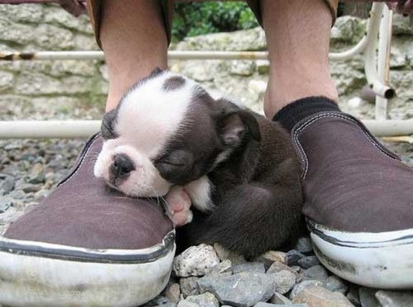 Cute Boston Terrier Puppy Sleeping On Shoes 580x432 20 Adorable Photos Of Puppies Napping Animals Sleeping Puppies Terrier Puppies Cute Animals