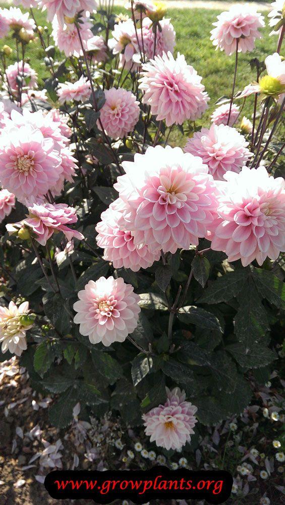 Pin By Deanna Freemyer Kepner On Flowers Pinterest Dahlia Rose