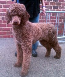Adopt George On Animals Animal Control Poodle