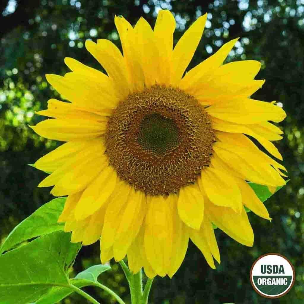 Sunflower Sunflower Sunflowerfield Growing Flower Yellow Summer Spring Sunflower Delivery California Farms Sunflower Fields
