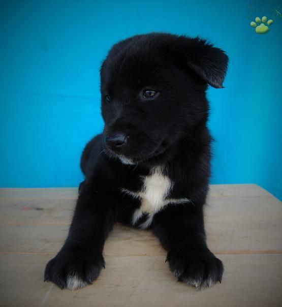Skye Siberian Husky Labrador Retriever Puppy For Sale In Dundee