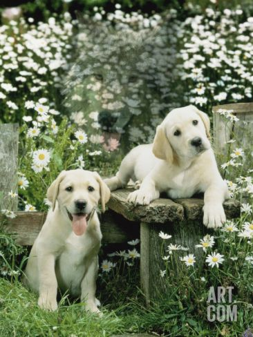 Two Young Labradors in a Daisy Field, UK Premium Poster by Jane Burton at Art.co.uk