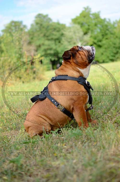 Leather Dog Harness For English Bulldog Attack Training And