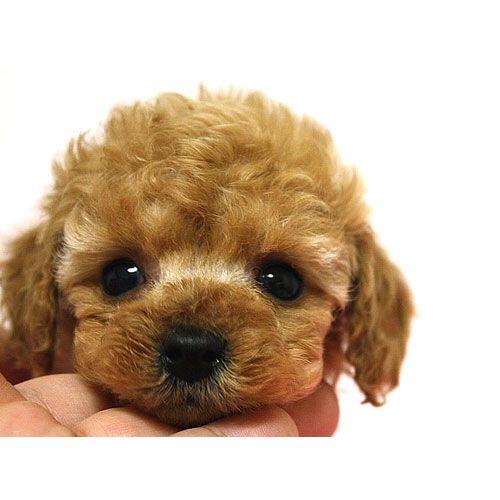 ティーカッププードル アプリ 11月08日生 男の子 広島のトイプードル レッド専門ブリーダー トイプードル ハニー トイプードル 子犬 トイプードル かわいい トイプードル