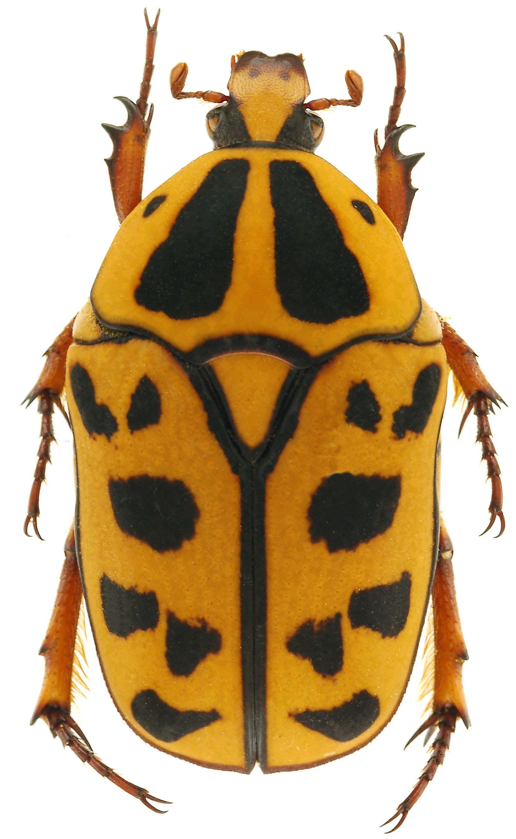 Pachnoda Cordata 画像あり 甲虫類 虫 ハナムグリ