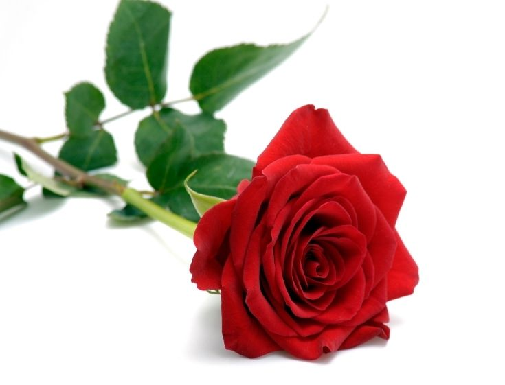 The Meaning Of Rose Colors Single Red Rose Rose Seeds Red Rose Flower