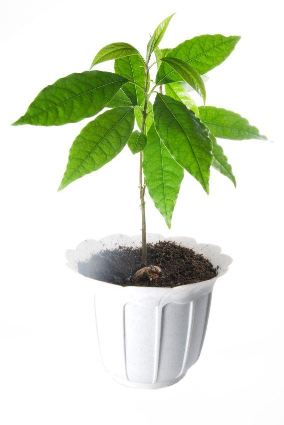 Avocado Stein Pflanzen