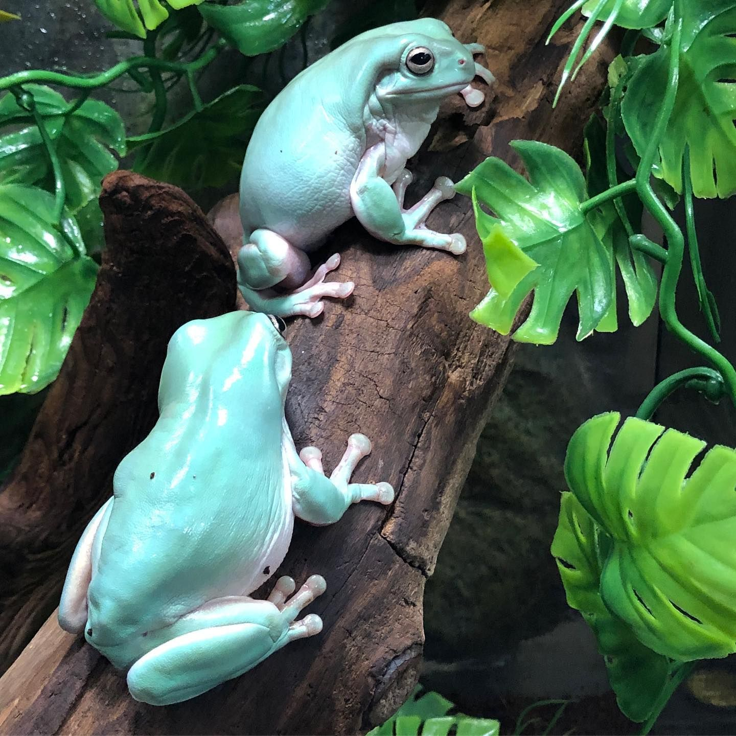 Beautiful adult whites tree frogs now available at Reptile
