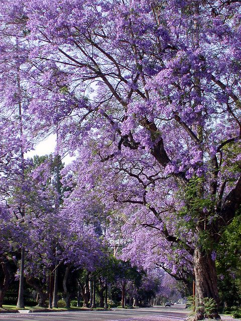 Purple Tunnel Jacaranda Tree Beautiful Tree Lilac Tree