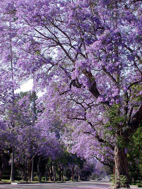 Purple Tunnel Beautiful Tree Lilac Tree