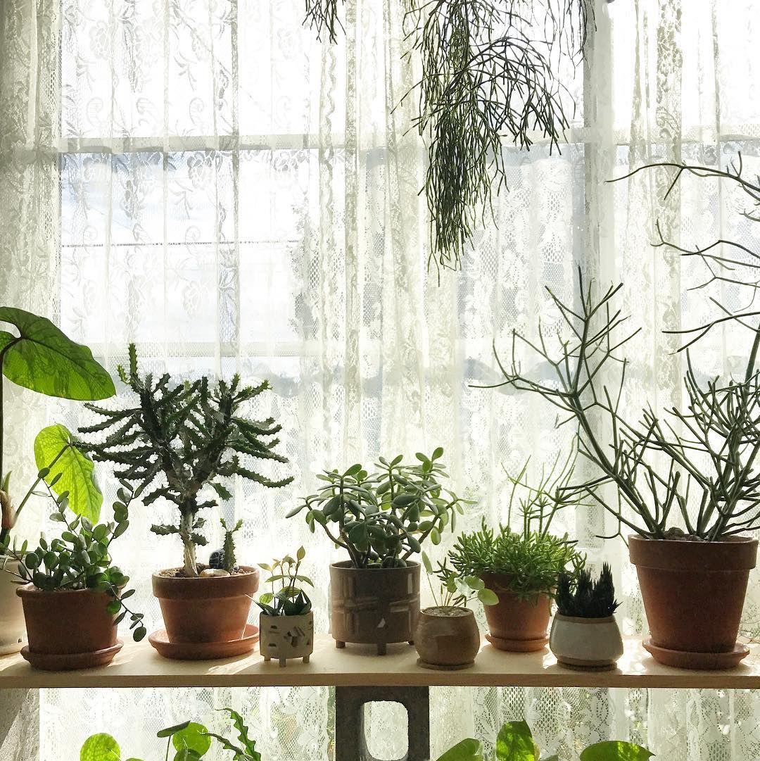 Chlorophytum comosum 'Spider Plant' (Grower's Choice
