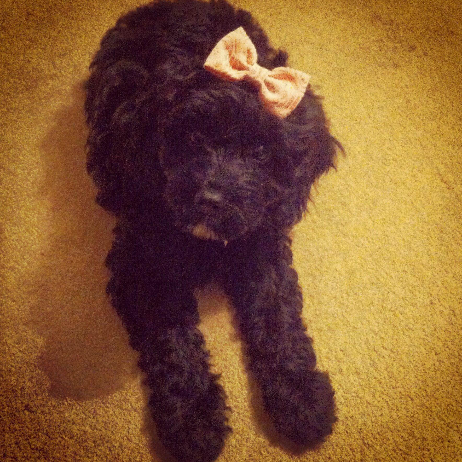 Coco my cavapoo puppy Cavapoo puppies, Puppies, Doggy