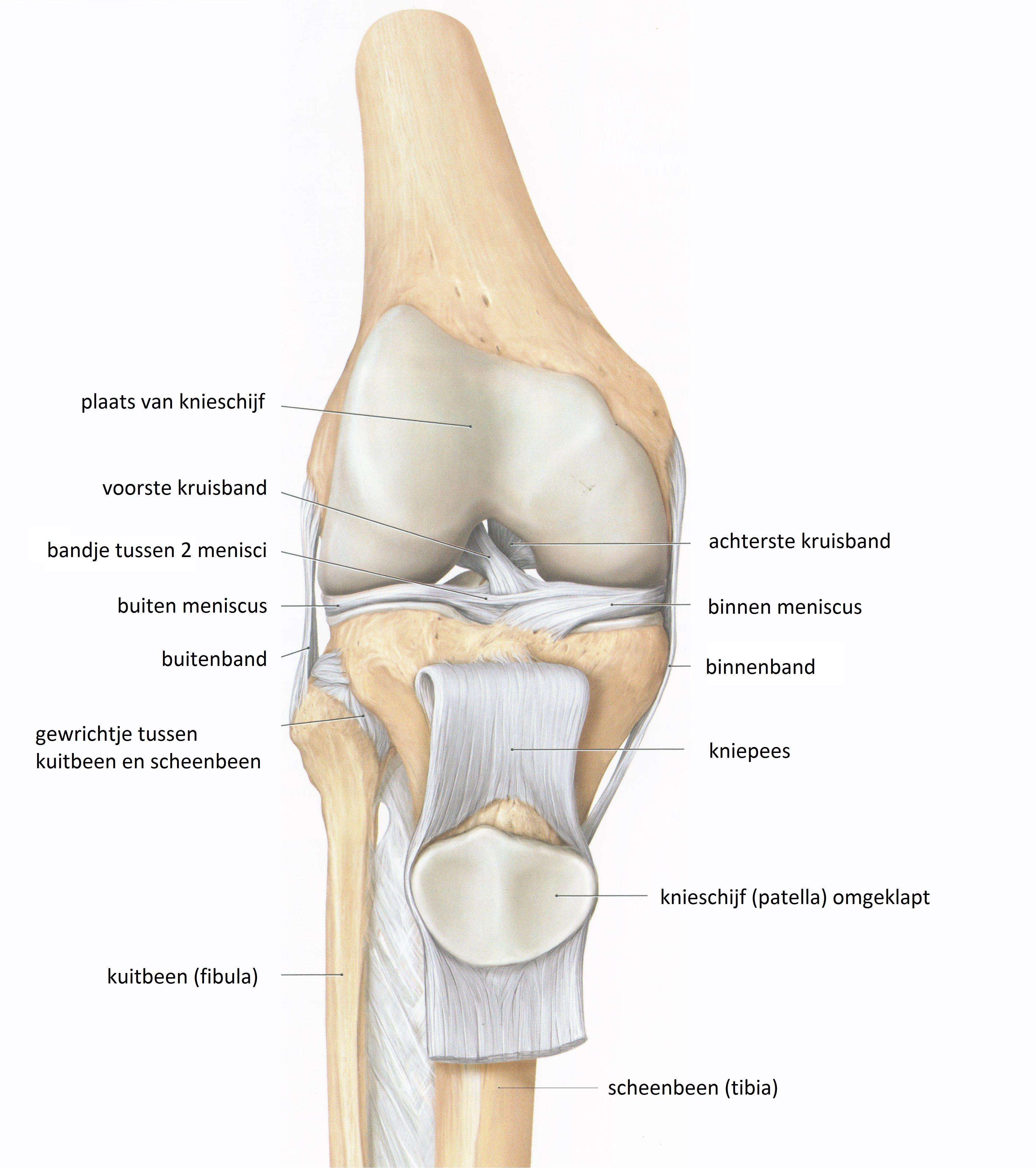 Anatomie van de knie | iDnA stage marktonderzoek | Pinterest