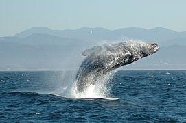 Bien-aimé Mammifère marin — Wikipédia | Mammifères marins (marin Mammals  EY61