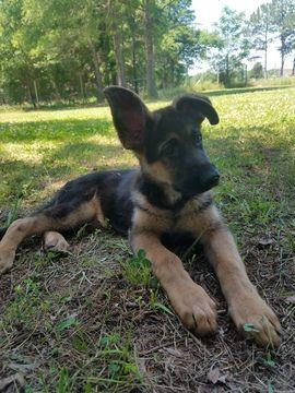 German Shepherd Dog Puppy For Sale In Louisburg Nc Adn 33265 On
