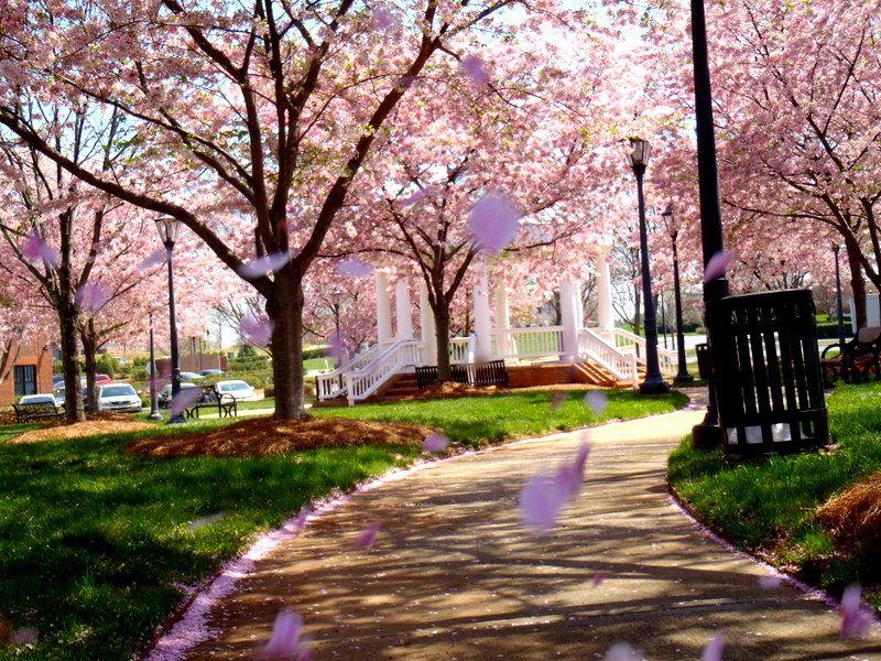 Cherry Blossom Trees Cornelius North Carolina Cherry Blossom Tree Blossom Trees Cherry Blossom
