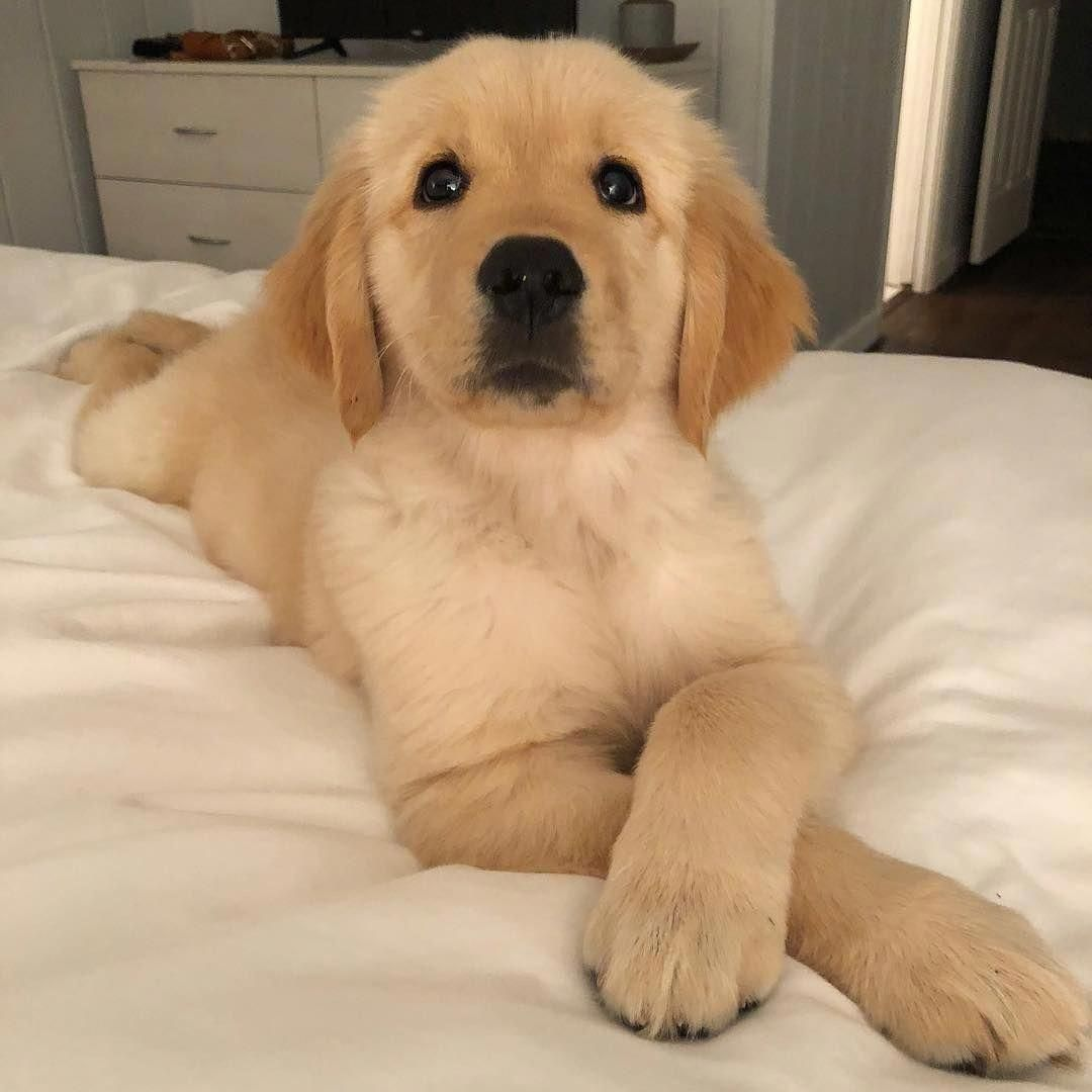 Golden Retriever Noble Loyal Companions Dogs Cute Puppies