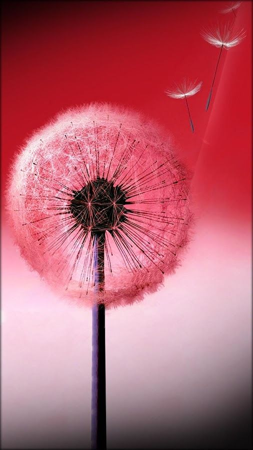 Wallpaper In Red Background Dandelion Art Flower Pictures Backgrounds Phone Wallpapers