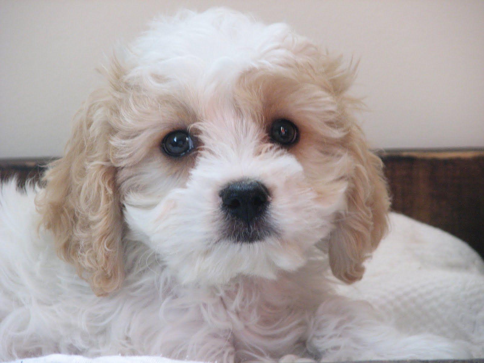 cavachon puppies Google Search Maggie Pinterest