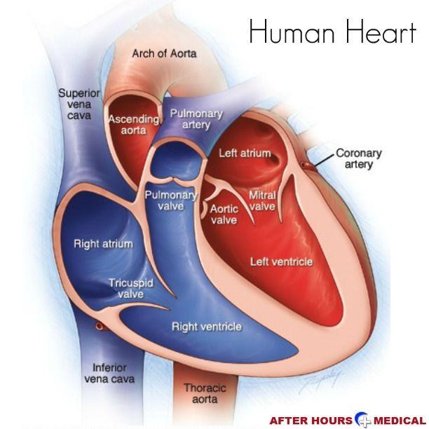 The Human Heart. http://www.afterhoursmedical.com/ | Heart ...