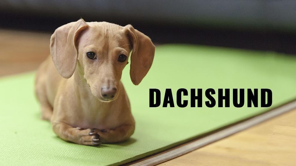 Dachshund Dachshund Temperament Weiner Dog Weenie Dogs