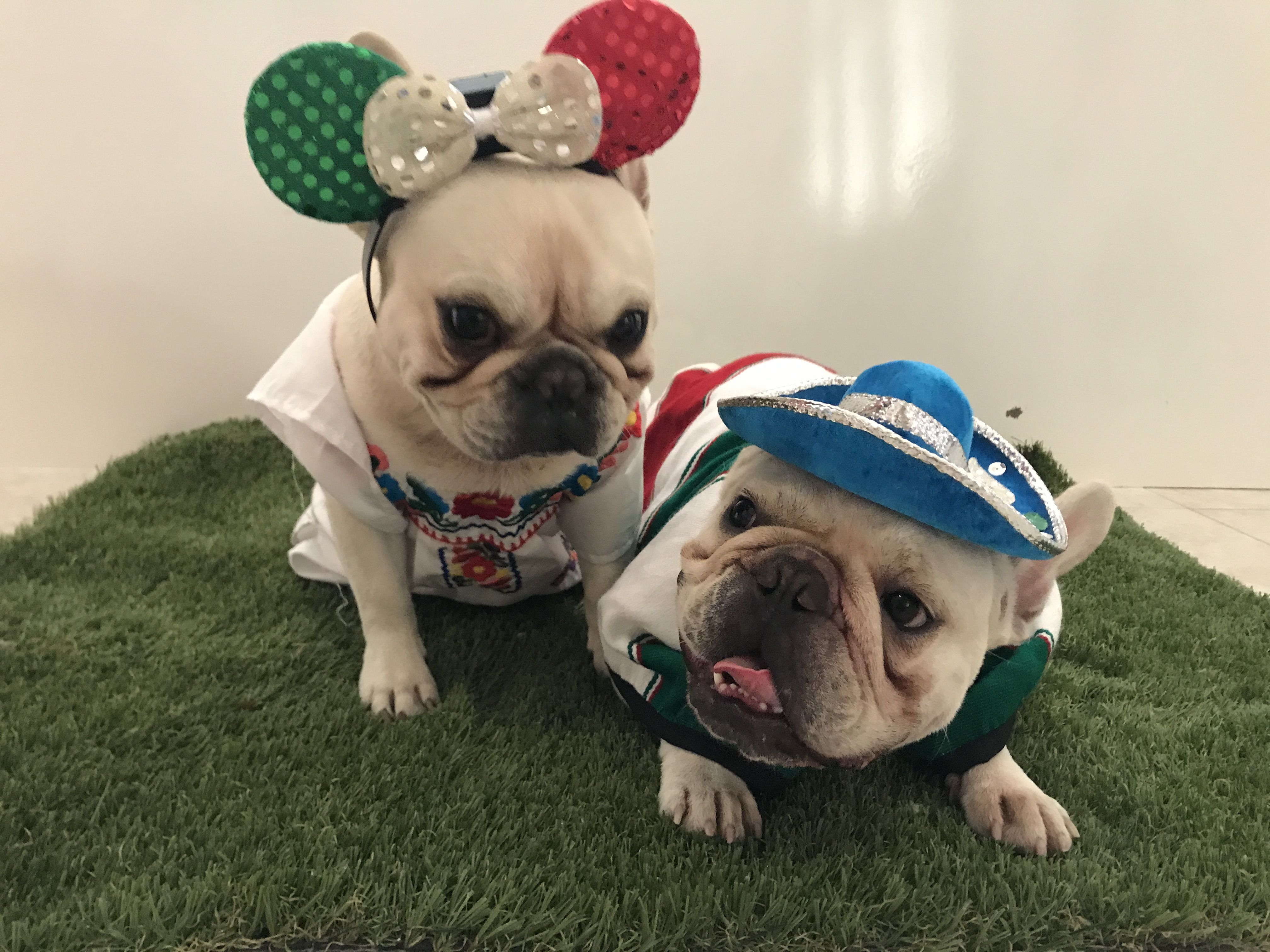 Mexican Minnie Mouse Ultimate Humiliation For Roberto The French Bulldog And His Brother Julio
