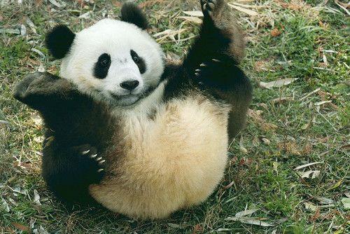 Fofura Rs Pandas Filhotes Animais Bebes Mais Fofos Pandas