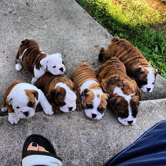 Wrinkly Cuteness Overload Cute Baby Animals Bulldog Puppies English Bulldog Puppies