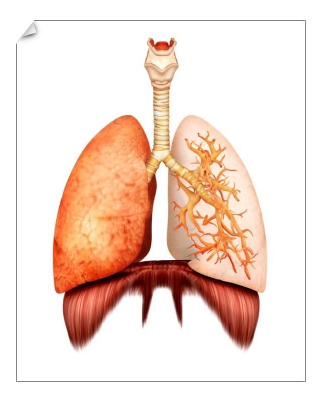 19+ 10 inch Photo. Anatomy of human respiratory system, front view
